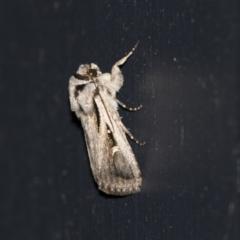 Proteuxoa undescribed nr paragypsa (A Noctuid moth) at Higgins, ACT - 22 Mar 2021 by AlisonMilton
