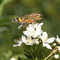 Vanessa kershawi (Australian Painted Lady) at Hughes, ACT - 16 Apr 2021 by JackyF