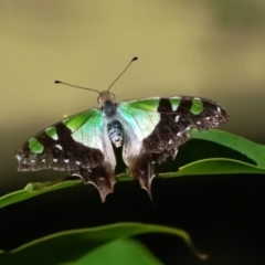 Graphium macleayanum (Macleay's Swallowtail) at ANBG - 16 Apr 2021 by dimageau