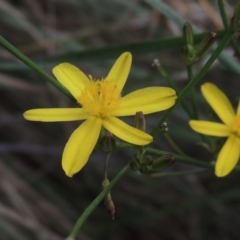 Tricoryne elatior (Yellow Rush Lily) at Conder, ACT - 13 Feb 2021 by michaelb