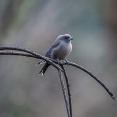 Artamus cyanopterus (Dusky Woodswallow) at Namadgi National Park - 11 Apr 2021 by trevsci
