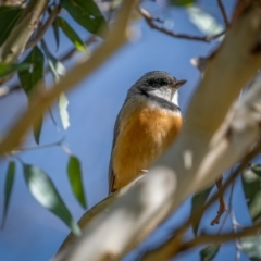 Pachycephala rufiventris (Rufous Whistler) at Rendezvous Creek, ACT - 11 Apr 2021 by trevsci