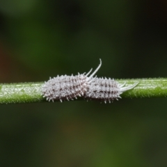 Pseudococcidae sp. (family) (A mealybug) at ANBG - 16 Apr 2021 by TimL