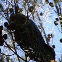 Calyptorhynchus lathami (Glossy Black-cockatoo) at suppressed - 11 Apr 2021 by LisaH