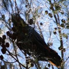 Calyptorhynchus lathami at suppressed - 11 Apr 2021