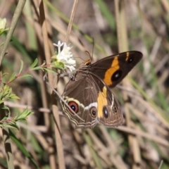 Tisiphone abeona (Varied Swordgrass Brown) at suppressed - 11 Apr 2021 by LisaH