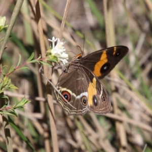 Tisiphone abeona (Varied Swordgrass Brown) at suppressed by LisaH