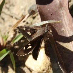 Unidentified Butterfly (TBC) at Moruya, NSW - 11 Apr 2021 by LisaH