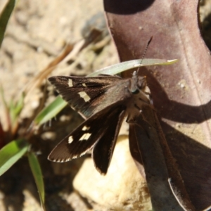 Unidentified Butterfly (TBC) at suppressed by LisaH