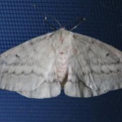 Unidentified Moth (TBC) at Moruya, NSW - 8 Apr 2021 by LisaH