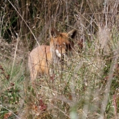 Vulpes vulpes (Red Fox) at Jerrabomberra Wetlands - 16 Apr 2021 by RodDeb