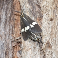 Nyctemera amicus (Senecio or Magpie moth) at ANBG - 14 Apr 2021 by WHall