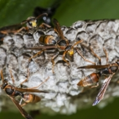 Polistes (Polistella) humilis (Common Paper Wasp) at ANBG - 14 Apr 2021 by WHall