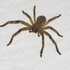 Unidentified Huntsman spider (Sparassidae) (TBC) at Googong, NSW - 12 Apr 2021 by WHall