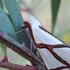 Thalaina clara (Clara's Satin Moth) at Mount Painter - 15 Apr 2021 by CathB