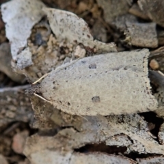 Meritastis polygraphana (Mottled Bell Moth) at Mount Painter - 15 Apr 2021 by CathB