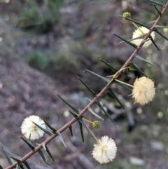 Acacia ulicifolia (Prickly Moses) at Currawang, NSW - 17 Apr 2021 by camcols