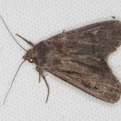 Agrotis infusa (Bogong Moth, Common Cutworm) at Melba, ACT - 21 Feb 2021 by Bron