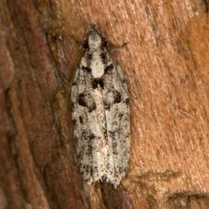 Ardozyga (genus) at Melba, ACT - 21 Feb 2021