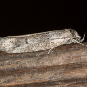 Palimmeces (genus) at Melba, ACT - 21 Feb 2021