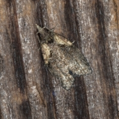 Capua intractana (A Tortricid moth) at Melba, ACT - 21 Feb 2021 by Bron