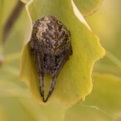 Eriophora transmarina (TBC) at National Arboretum Forests - 16 Apr 2021 by AlisonMilton