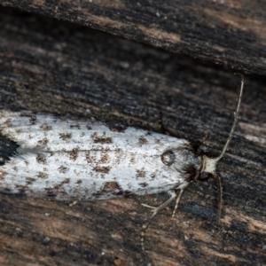 Lepidoscia (genus) at Melba, ACT - 22 Feb 2021