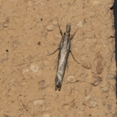 Tawhitia pentadactylus at Higgins, ACT - 22 Mar 2021 by AlisonMilton