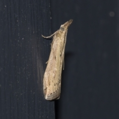 Faveria tritalis (Couchgrass Webworm) at Higgins, ACT - 21 Mar 2021 by AlisonMilton