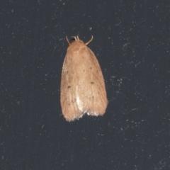 Garrha rubella (A Concealer moth) at Higgins, ACT - 22 Mar 2021 by AlisonMilton