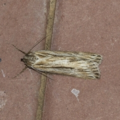 Ciampa arietaria (Forked Pasture-moth) at Higgins, ACT - 14 Apr 2021 by AlisonMilton
