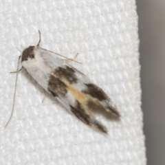 Oecophoridae (family) (Unidentified Oecophorid concealer moth) at Black Mountain - 8 Apr 2019 by AlisonMilton