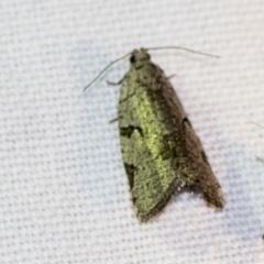 Meritastis pyrosemana (A Tortricid moth) at Black Mountain - 8 Apr 2019 by AlisonMilton