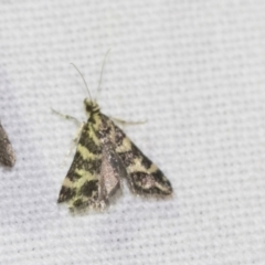 Scoparia spelaea (A Crambid moth) at Black Mountain - 8 Apr 2019 by AlisonMilton