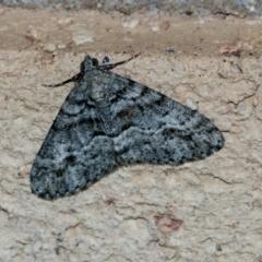 Lipogya eutheta (Grey Bark Moth) at Higgins, ACT - 5 Apr 2021 by AlisonMilton