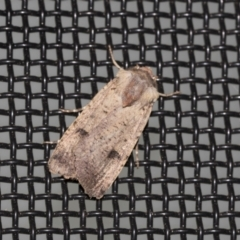 Proteuxoa tibiata (An Owlet moth) at Higgins, ACT - 22 Mar 2021 by AlisonMilton
