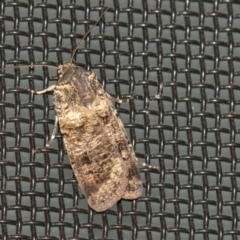 Agrotis porphyricollis (Variable Cutworm) at Higgins, ACT - 28 Mar 2021 by AlisonMilton