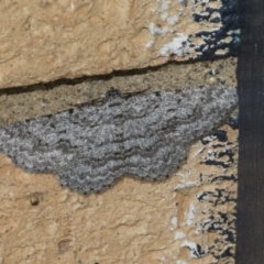 Psilosticha attacta (Looper Moth) at Higgins, ACT - 17 Apr 2021 by AlisonMilton