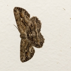Ectropis excursaria (Common Bark Moth) at Higgins, ACT - 5 Apr 2021 by AlisonMilton