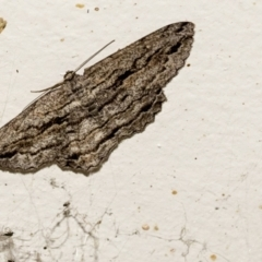 Scioglyptis chionomera (Grey-patch Bark Moth) at Higgins, ACT - 5 Apr 2021 by AlisonMilton