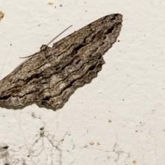 Scioglyptis chionomera (Grey-patch Bark Moth) at Higgins, ACT - 5 Apr 2021 by AlisonMilton