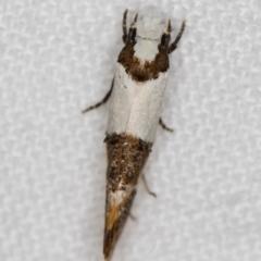 Monopis meliorella at Melba, ACT - 25 Feb 2021
