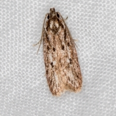 Gelechioidea (superfamily) (Unidentified Gelechioid moth) at Melba, ACT - 24 Feb 2021 by Bron