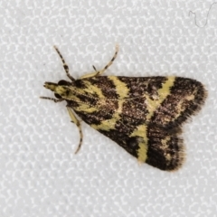 Scoparia spelaea (A Crambid moth) at Melba, ACT - 25 Feb 2021 by Bron