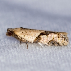 Merophyas therina (a Tortrix Moth) at Melba, ACT - 25 Feb 2021 by Bron
