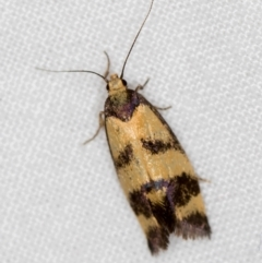 Olbonoma triptycha (Concealer moth) at Melba, ACT - 25 Feb 2021 by Bron