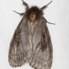 Leptocneria reducta (White cedar moth) at Melba, ACT - 27 Feb 2021 by Bron