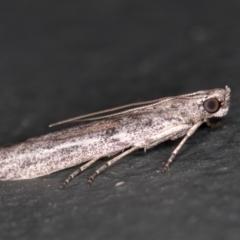 Meyrickiella homosema at Melba, ACT - 27 Feb 2021
