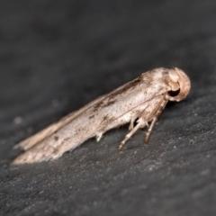 Blastobasis (genus) at Melba, ACT - 27 Feb 2021