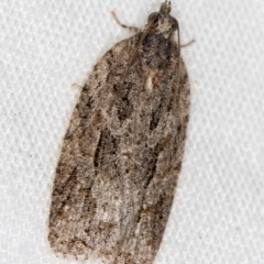 Thrincophora inconcisana (A Tortricid moth) at Melba, ACT - 27 Feb 2021 by Bron